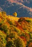 Le paysage d'automne avec un arbre isolé dans un espace sur une forêt a couvert r Photographie stock libre de droits