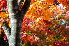 Le paysage d'automne a brouillé l'arbre d'érable en parc, Autumn Season, et les couleurs lumineuses de branche d'arbre d'érable a Images libres de droits