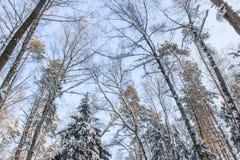 Le paysage d'hiver Les arbres dans la neige Images libres de droits
