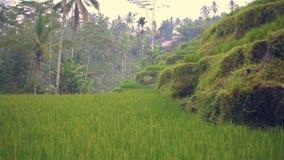 Le paysage d'un beau champ vert avec du riz égrappe le balancement dans le vent Laps de temps clips vidéos