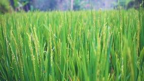 Le paysage d'un beau champ vert avec du riz égrappe le balancement dans le vent Laps de temps banque de vidéos