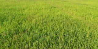 Le paysage de jeunes gisements verts de riz photographie stock libre de droits