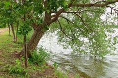 Le paysage du grand arbre vert sur le rivage du lac a abaissé des branches dans l'eau Images stock