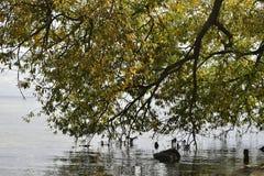 Le paysage du grand arbre vert sur le rivage du lac a abaissé des branches dans l'eau photos libres de droits