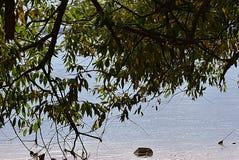 Le paysage du grand arbre vert sur le rivage du lac a abaissé des branches dans l'eau photo stock