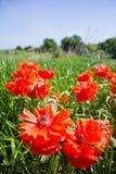 Le paysage ensoleillé lumineux de ressort avec le grand pavot lumineux fleurit dans le premier plan Photos stock