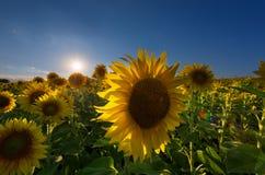 Le paysage magnifique de coucher du soleil avec le beau tournesol met en place à l'été Images libres de droits