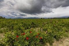 Le paysage pittoresque avec le champ rose sous un ciel nuageux Photographie stock libre de droits