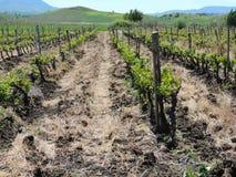 Le paysage pittoresque avec un vignoble Photo libre de droits