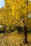 Le paysage pittoresque de l'arbre d'érable et du chemin couverts Image libre de droits