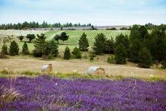 Le paysage rural avec les gisements et la paille de lavande roule Photographie stock libre de droits
