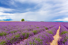 Le paysage typique de la lavande met en place la Provence, France Photos stock