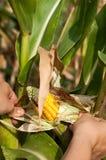 Le paysan est moisson les épis de maïs endommagés images libres de droits