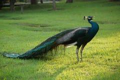 Le peacock2 image libre de droits