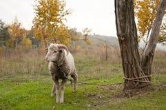 Le pecore Immagini Stock Libere da Diritti