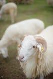 Le pecore Immagine Stock Libera da Diritti