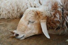 Le pecore affrontano, dormono fotografia stock libera da diritti