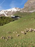Le pecore in Alta Provenza parcheggiano il mercantour vicino a col de vars in prato soleggiato con le montagne ricoperte neve Immagini Stock