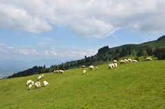 Le pecore ammucchiano su Appenczell Fotografia Stock