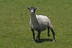 Le pecore in Bodmin attraccano Immagine Stock