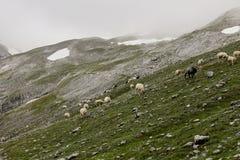 Le pecore camminano attraverso la valle della montagna vicino alle alpi della Baviera di Zugspitze dell'più alta montagna della G Fotografia Stock