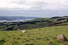 Le pecore che pascono sulla strada a Larnach fortificano nel nuovo zelo di Dunedin Fotografie Stock Libere da Diritti
