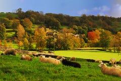 Le pecore che riposano per i nuovi agnelli arrivano immagini stock libere da diritti