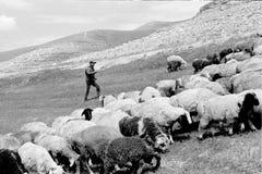 Le pecore del pastore sul pendio di collina Immagini Stock