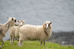 Le pecore del Ram si affollano sui precedenti dell'erba verde Fotografia Stock Libera da Diritti