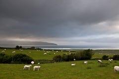 Le pecore dell'erba verde lam il paesaggio dell'Irlanda del mare Fotografia Stock