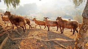 Le pecore delle Barbados si riuniscono nella nebbia di Malibu Immagini Stock Libere da Diritti