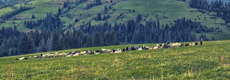 Le pecore delle pecore sono pascute sul pendio verde della montagna Immagine Stock