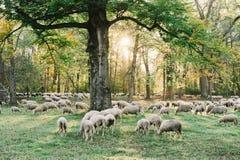 Le pecore di autunno pascono il Englischer Garten Fotografia Stock
