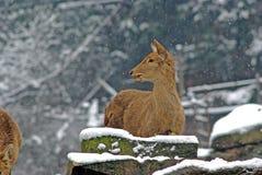 Le pecore di Brown nella neve in bifengxia concentrano Immagine Stock Libera da Diritti