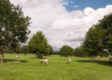 Le pecore di estate sistemano con erba verde, gli alberi ed il bianco piani Immagini Stock Libere da Diritti