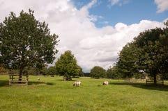 Le pecore di estate sistemano con erba verde, gli alberi ed il bianco piani Immagine Stock