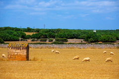 Le pecore di Menorca si affollano il pascolo nel prato secco dorato Fotografie Stock