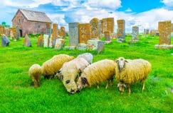 Le pecore di pascolo al cimitero Fotografia Stock Libera da Diritti