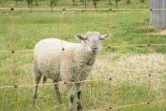 Le pecore dietro elettrico recintano una vigna #1 Fotografie Stock Libere da Diritti