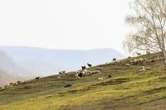 Le pecore domestiche e le capre pascono sui pendii delle montagne Fotografia Stock