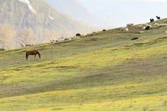 Le pecore domestiche e le capre pascono sui pendii delle montagne Immagini Stock Libere da Diritti