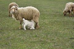 Le pecore e gli agnelli nel campo Fotografie Stock