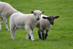 Le pecore e gli agnelli nel campo vicino a Swyre si dirigono Fotografie Stock