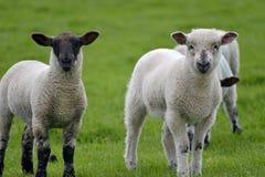 Le pecore e gli agnelli nel campo vicino a Swyre si dirigono Fotografia Stock