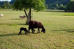 Le pecore e le pecore del bambino sul pascolo in sera si illuminano Fotografie Stock Libere da Diritti