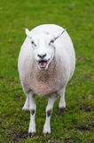 Le pecore felici figliano chiamando il suo giovane pascolo dell'erba verde Immagini Stock Libere da Diritti
