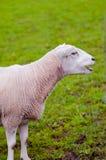 Le pecore felici figliano chiamando il suo giovane pascolo dell'erba verde Immagine Stock