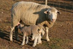 Le pecore figliano e pecora fotografia stock libera da diritti