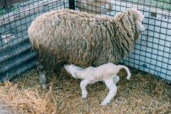 Le pecore hanno dato alla luce ad un piccolo agnello fotografia stock libera da diritti