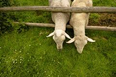 Le pecore hanno fame Fotografia Stock